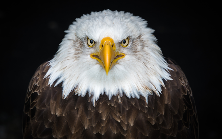 4k, Bald eagle, close-up, predators, wildlife, predatory bird, Haliaeetus leucocephalus