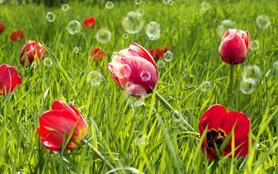 red tulips, green grass, bokeh, spring flowers, red flowers, wildflowers, macro, tulips