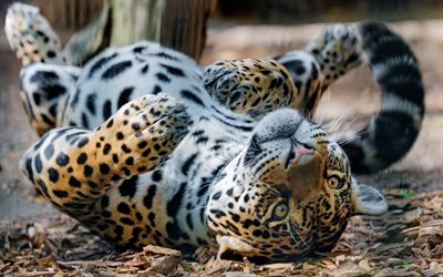 jaguar, wild cat, dangerous animals, wildlife, Panthera onca, young jaguar