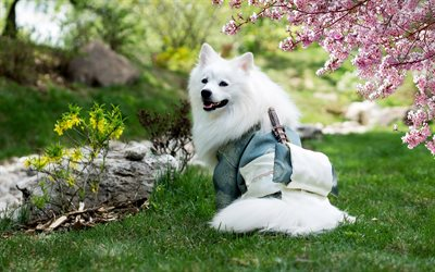 4k, Samoyed, samurai, cute animals, white dog, furry dog, dogs, pets, Samoyed Dog