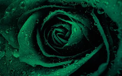 green rose, drop of water, rosebud, green flowers, roses, green petals