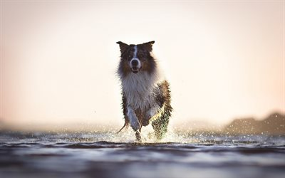 Border collie, running dog, river, splashing water, evening, sunset, pets, dogs
