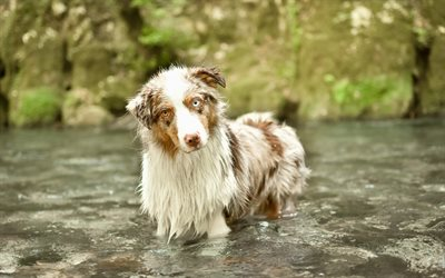 Australian Shepherd, Aussie, white brown dog, different eye color, dog, pets, dog in the water