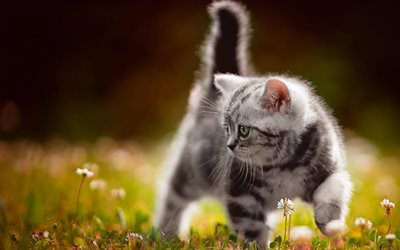 small gray fluffy kitten, American Bobtail, evening, field flowers, grass, cute animals, kitten, small cat