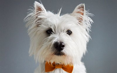 West Highland White Terrier, Cute dog, portrait, pets, small dogs