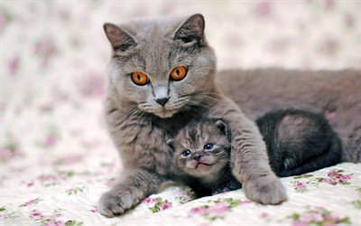 British Shorthair Cat, mother and cub, kitten, domestic cat, family, cats, cute animals, British Shorthair