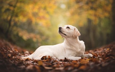 large beige dog, labrador retriever, autumn, fallen dry leaves, cute animals, dogs