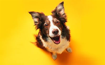 Border Collie, studio, cute animals, brown border collie, pets, dogs, Border Collie Dog