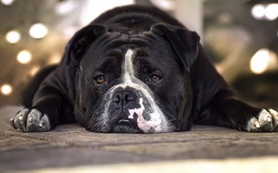 black english bulldog, big dog, funny dogs, lazy dog, pets