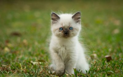 Ragdoll, sad kitten, denectic cat, bokeh, cute animals, small Ragdoll, cats, pets, Ragdoll Cats