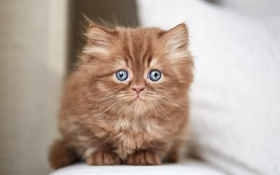 British fluffy kitten, brown little cat, chocolate kitten, funny animals, brown kitten with blue eyes