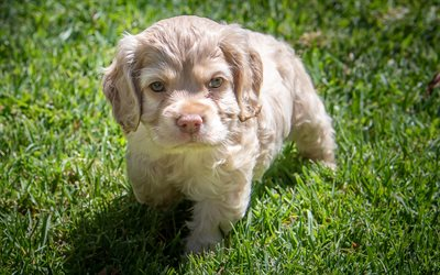 little cute puppy, spaniel, curly puppy, cute animals, little dog, spaniel puppies, green grass