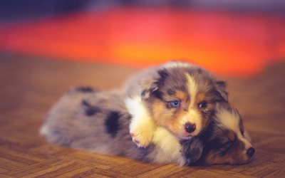 Australian Shepherd, puppies, Aussie, friendship, pets, dogs, Australian Shepherd Dog, cute animals, Aussie Dog