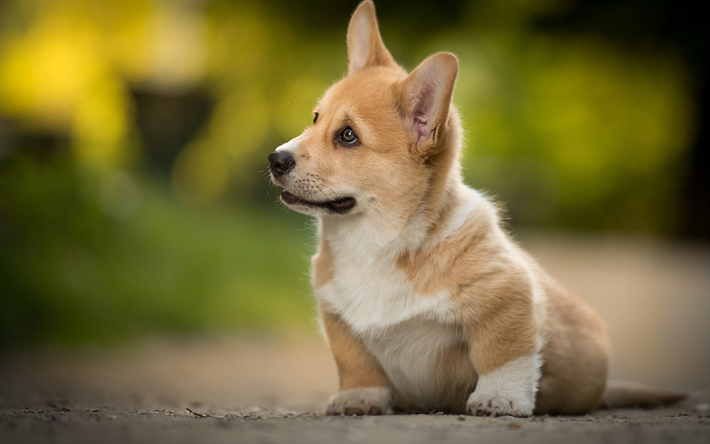download wallpapers welsh corgi cute animals puppy blur