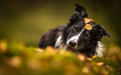 4k, Black Border Collie, autumn, cute animals, black dog, pets, bokeh, border collie, dogs, Border Collie Dog