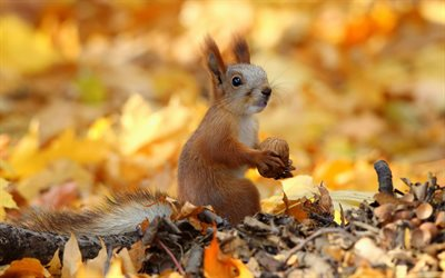 squirrel with walnut, autumn, bokeh, wildlife, funny animals, Sciuridae, squirrel