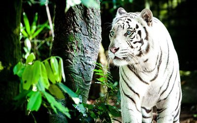 white tiger, 4k, forest, blue eyes, predators, tigers