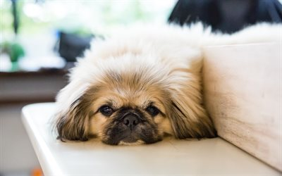 Download Wallpapers Pekingese Small Dog Cute Fluffy Dogs