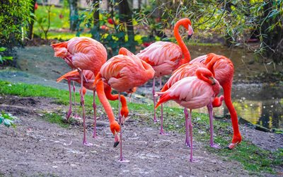 pink flamingos, beautiful pink birds, flamingos, lake, beautiful birds