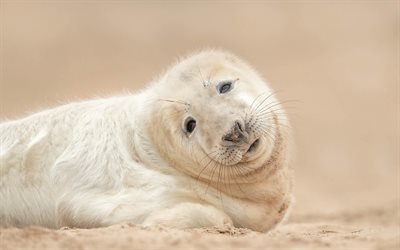white seal, little seal, cute animals, wildlife, seals