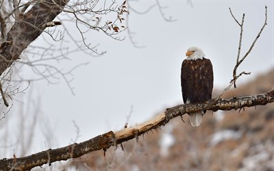 Bald Eagle, winter, snow, evening, USA symbol, North America, USA, birds of prey
