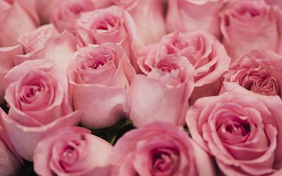 pink roses, bouquet of roses, buds of pink roses, pink floral roses, background with pink roses