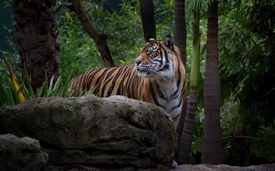 tiger, wildlife, wild cat, tigers, forest, wild animals