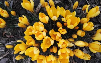 yellow crocuses, spring flowers, yellow flowers, crocuses, spring