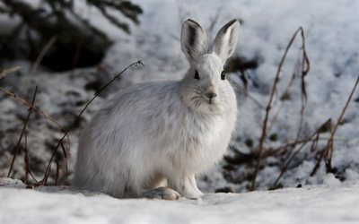 white rabbit, winter, snow, rabbit, wildlife, wild animals, forest animals, forest