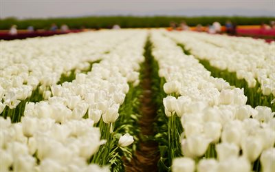 white tulips, field with white tulips, spring flowers, tulips, wildflowers, spring, Netherlands