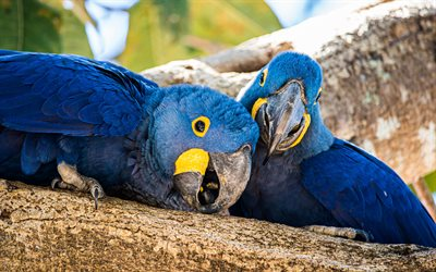 Lears macaw, indigo macaw, blue parrots, pair of parrots, blue macaws, parrots, blue Brazilian parrot