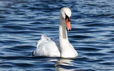 white swan, lake, swan on the water, white bird, beautiful swan, swans