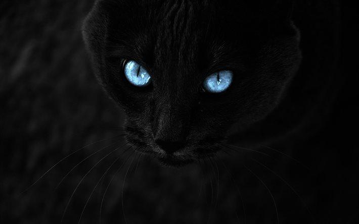 schwarze katze, blaue augen, close-up, katzen