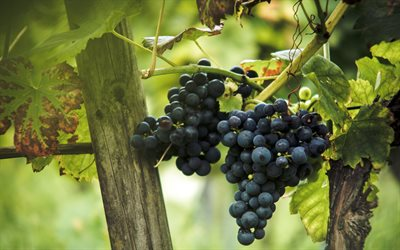grapes, fruits, vineyard, autumn, harvest