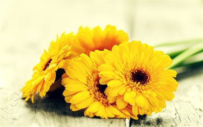 yellow gerberas, yellow flowers, floral background, yellow petals