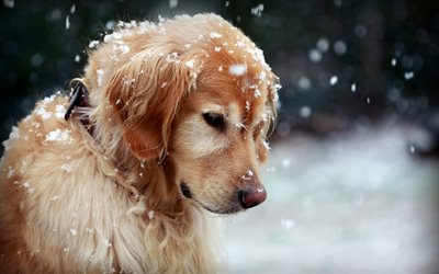 golden retriever, winter, labrador, puppy, cute dog, snowflakes, cute animals, dogs