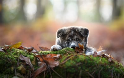 Akita Inu, puppy, gray dog, cute animals, autumn, dog year concepts, pets