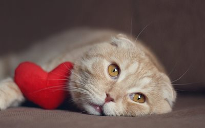 Scottish Fold, red heart, beige cat, cute animals, cats, Pets, cat with toy