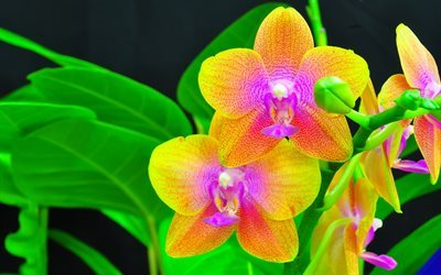 yellow orchid, close up, orchids, plant