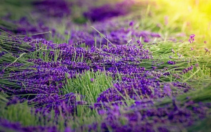 Download wallpapers lavender purple flowers wildflowers harvest for desktop free pictures - Lavender purple wallpaper ...