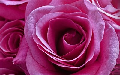 pink rose, rose bud, pink flowers, beautiful flowers, roses