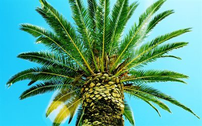 palm, summer, palm branches, sky, tropical islands, coconuts