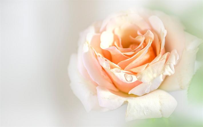 descargar fondos de pantalla lila rose capullo de rosa flor