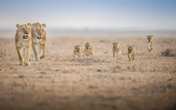 lion family, pride, desert, Africa, evening, little cubs, lioness, wildlife, predators