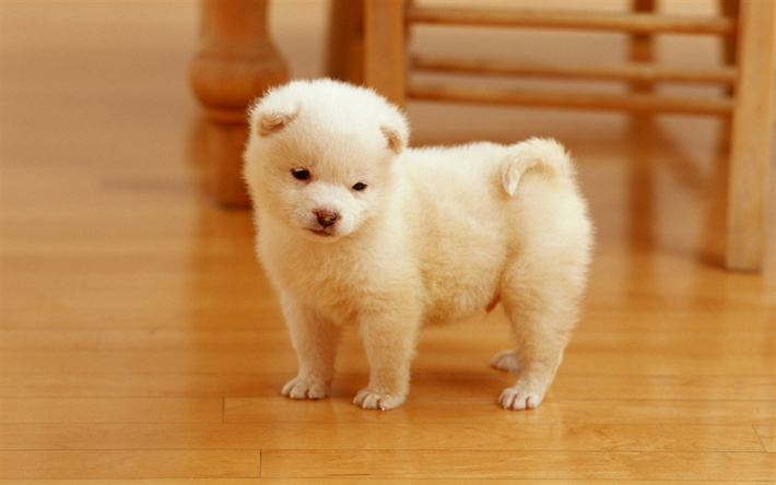 Pomeranian, small white puppy, cute little dog, pets, puppies