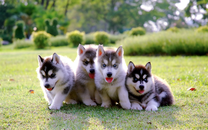 Husky, puppies, family, small dogs, cute animals, pets, dogs