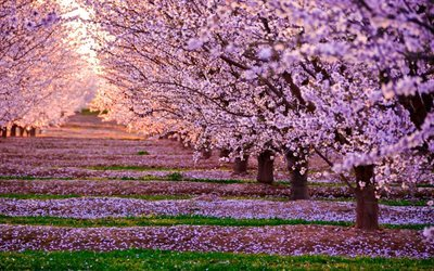 cherry, spring, trees, blossom, pink flowers, sunset
