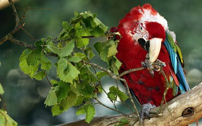 red parrot, ara, tropisk skog, Red-and-green macaw, Ara chloroptera