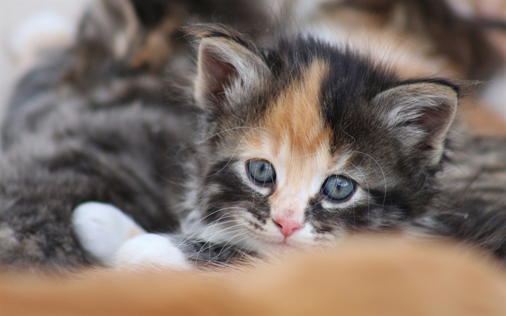 cute little gris chaton, mignon, animaux, animaux domestiques, chats, chatons