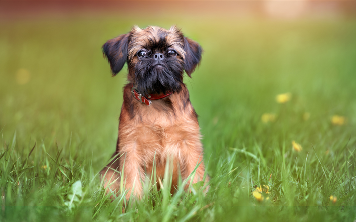 Download Wallpapers Brussels Griffon Dogs 4k Funny Dog Lawn Pets Brussels Griffon Dog For Desktop Free Pictures For Desktop Free